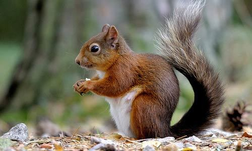 Red Squirrel's