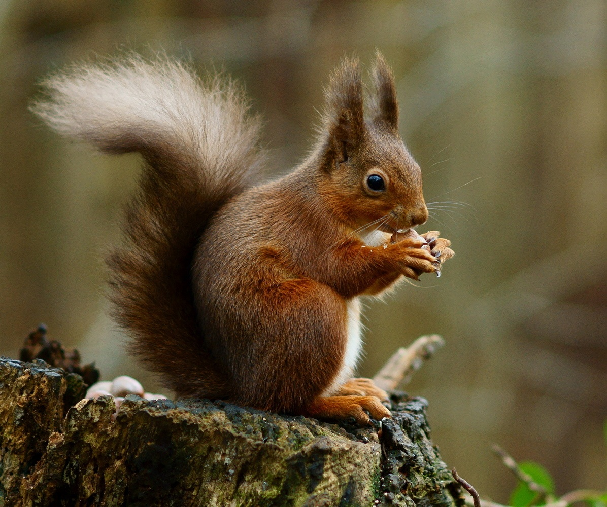 Red Squirrels at Blessingbourne Estate Northern Ireland